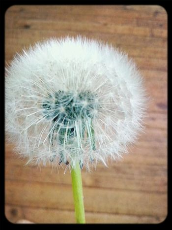 Dandelion Happyness Dreams Make A Wish