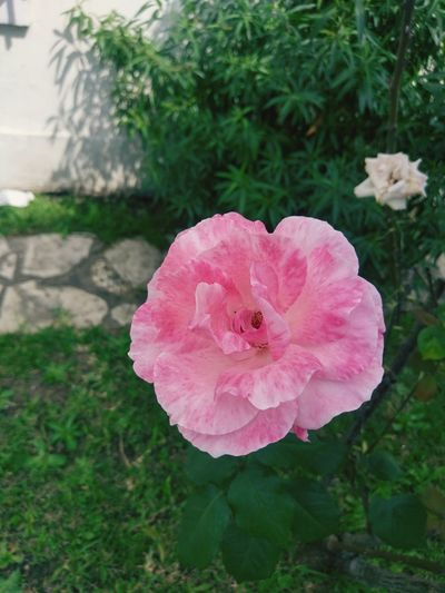 Beautiful Nature Outdoors. Rosé Pink Color Pink Pink Rose EyeEmNewHere EyeEm Selects Beauty In Nature Beautiful Outdoors Photograpghy  Sun Sky Nature Green Green Color Flower Head Flower Peony  Pink Color Wild Rose Close-up Plant Single Rose Blooming Stamen Passion Flower Rose - Flower Pollen Single Flower Plant Life Petal