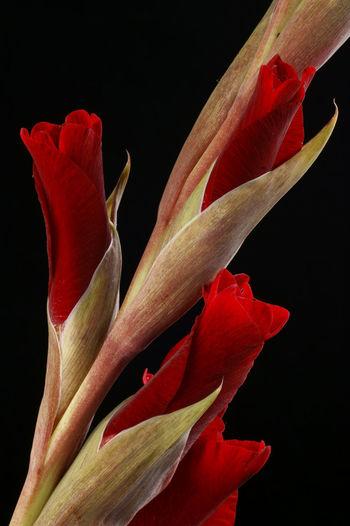 Close-up of red rose flower against black background