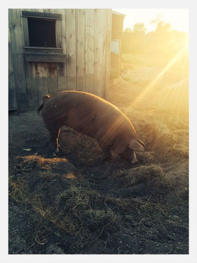 Beautiful evening for ice cream and a pig!