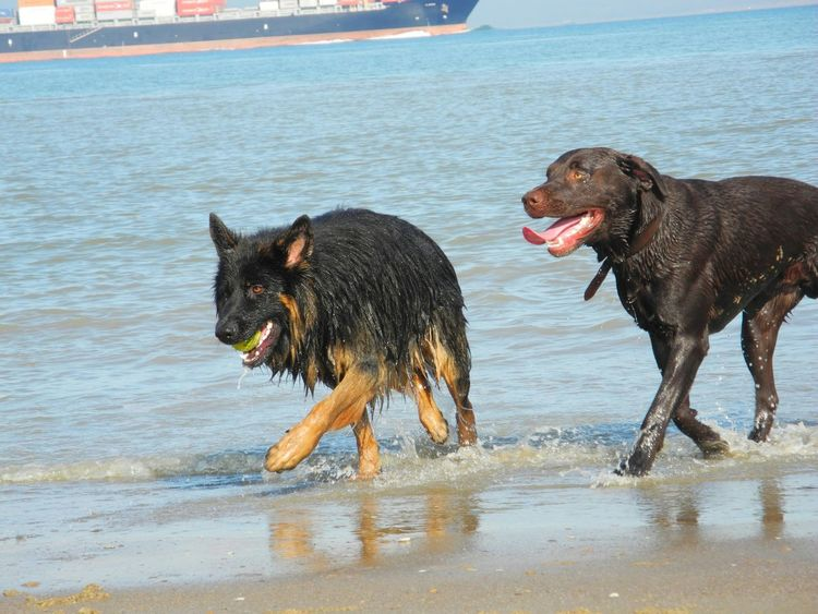 Dog❤ German Shepherd Labrador Animals Beach Life Water Pet Photography  I Love My Dogs❤️ My Dog Is Cooler Than Your Kid. Cute♡