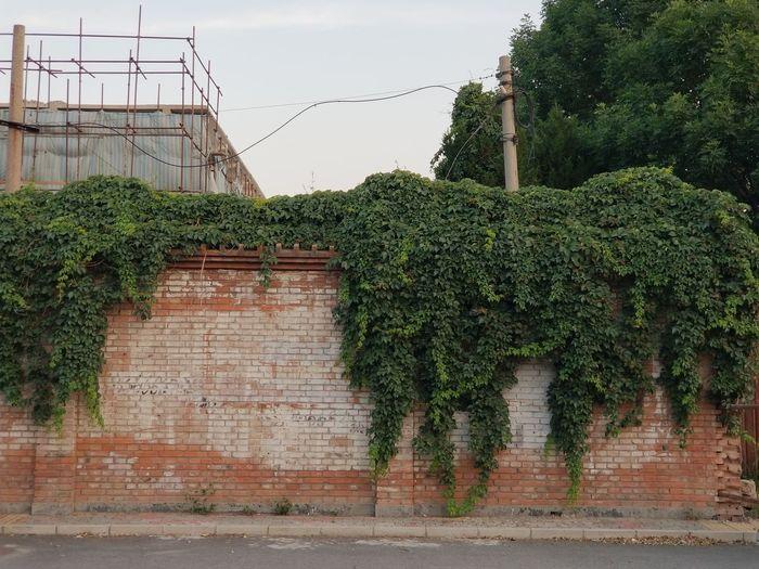Tree City Ivy