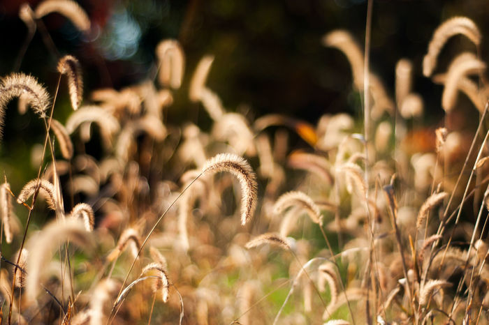 The golden, grass seed heads are illuminated by the sunlight of a fall afternoon. Autumn Copy Space Gold Golden Grass Seed Seeds Beauty In Nature Brown Close-up Fall Field Fragility Grasses Growth Meadow Nature No People Outdoors Plant Season  Seasonal Seasons Seed Head Yellow