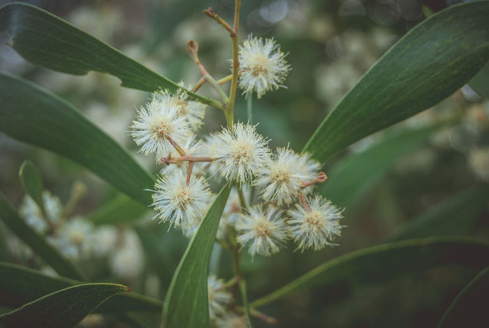 white wattle flowers Beauty In Nature Close-up Day Flower Fragility Freshness Growth Leaves Nature No People Outdoors Plant Wattle Flower Wattle Tree White Flower