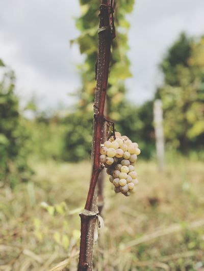 Lovegeorgia Kakheti Georgia Wine Winegrapes Focus On Foreground Plant Nature Day No People Field Growth Food And Drink Outdoors Agriculture Plant Stem Close-up Tree Sky Beauty In Nature Hanging Food Fruit Land