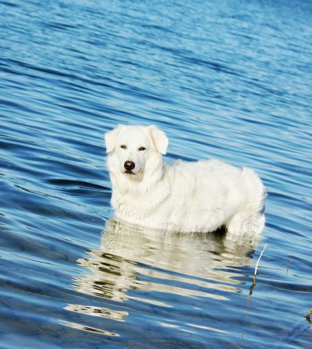 White dog in water