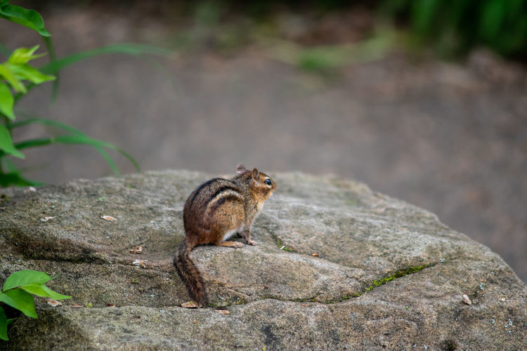 View of squirrel on rock