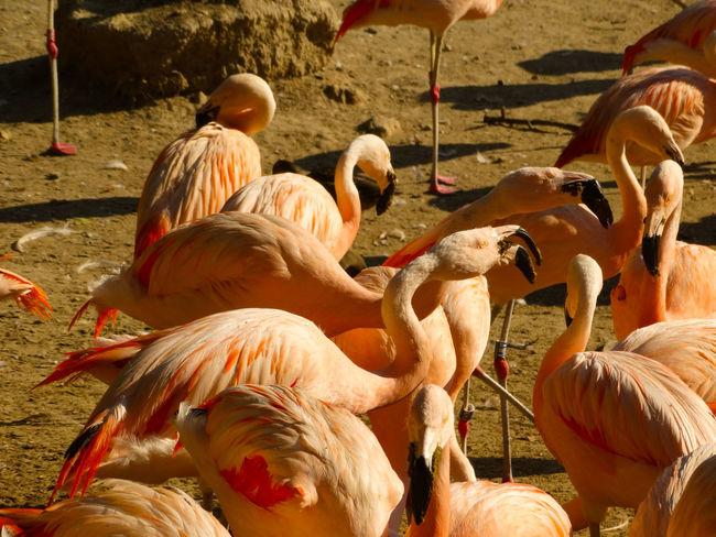 Pink Pink Flamingos Animal Animal Neck Animal Themes Animal Wildlife Animals In The Wild Beauty In Nature Bird Birds Day Flamingo Flock Of Birds Freshwater Bird Group Of Animals Land Large Group Of Animals Nature No People Orange Color Outdoors Sunlight Vertebrate Water