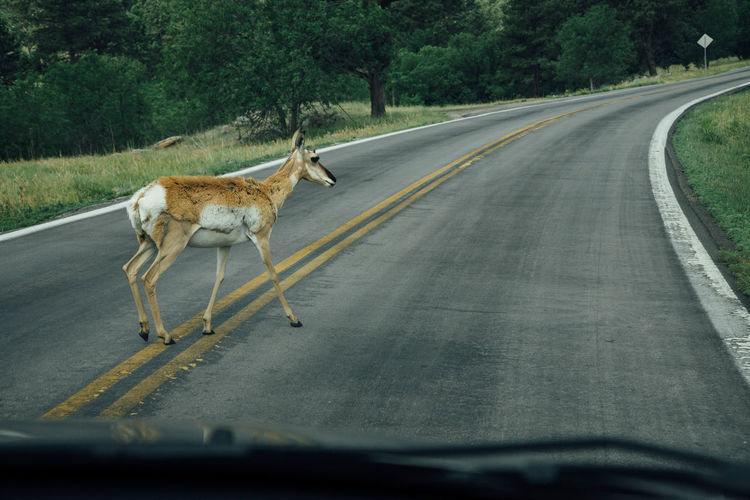 Full length of a deer walking on road