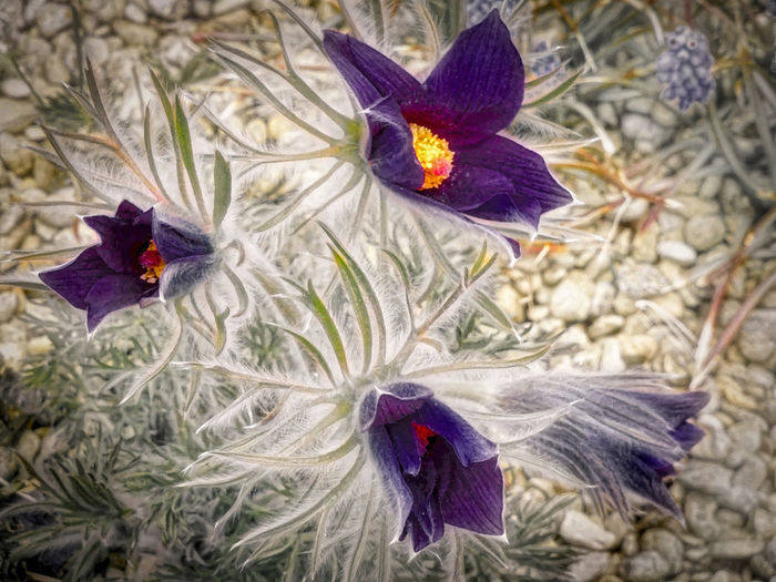 Arizona Blooming Deep Purple Flowers Flower Glowing Centers Grey/green Foiag Hairy Foliage Nature Petal Purple