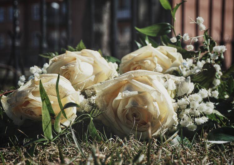 Graveyard White Roses 2019 Niklas Storm April Close-up Flower Head Petal My Best Photo
