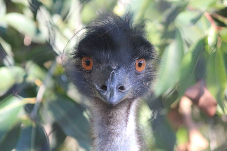 Wildlife. Animal Animal Photography Beauty In Nature Emu Focused Looking At Camera Outdoors Wildlife
