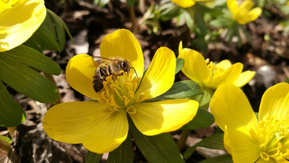 Yellow Growth Plant Nature Leaf Outdoors Close-up Beauty In Nature Freshness No People Flower Insect Fragility Day Animal Themes Flower Head Winter Aconite Bee Paint The Town Yellow See The Light