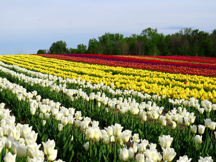 Field of colorful tulips on a hill with woods in the background Abundance Agriculture Beauty In Nature Environment Field Flower Flower Head Flowerbed Flowering Plant Fragility Freshness Growth Land Landscape Nature No People Plant Rural Scene Scenics - Nature Tranquil Scene Tulip Vulnerability