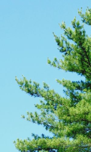 Growth Tree Clear Sky Nature Low Angle View Beauty In Nature No People Day Tranquility Sky Blue Sky Freshness Copy Space Copyspace Heavenly Reach Skysthelimit Theskysthelimit The Sky Is The Limit Pine Pine Tree Blue Skies Marylandisforcrabs🦀