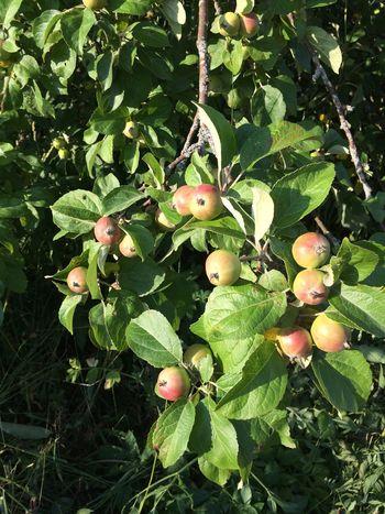 Яблок много!🍎 Зима наверное будет холодная💨❄️❄️❄️