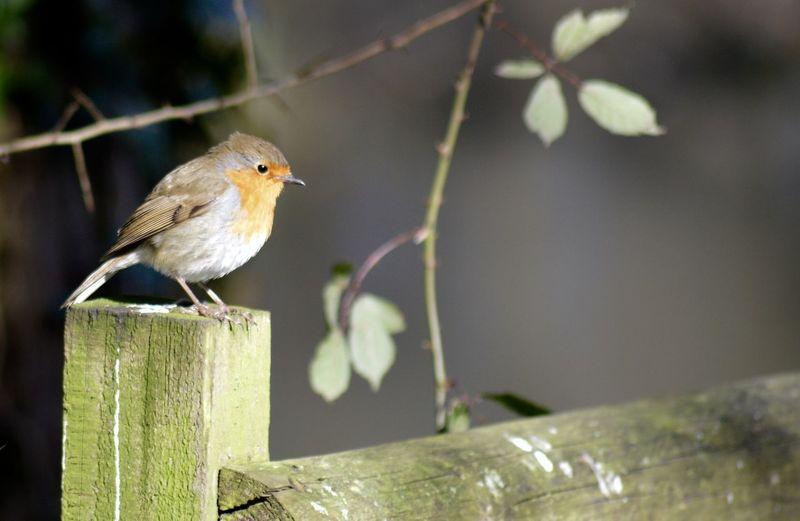 Close-Up Of Robin Bird Perching On Wooden Fence