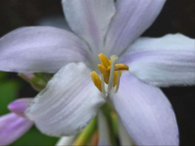 Flower Petal Flower Head Fragility Beauty In Nature Freshness Nature Growth Plant White Color Close-up Blooming Stamen Pollen Day Outdoors No People Springtime Iris - Plant Day Lily