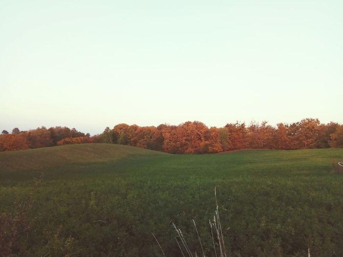 Goldpolishautumn Tree Rural Scene Clear Sky Agriculture Field Sky Grass Landscape