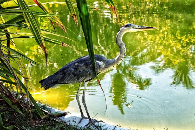 One Animal Animal Themes Great Blue Heron Animal Wildlife