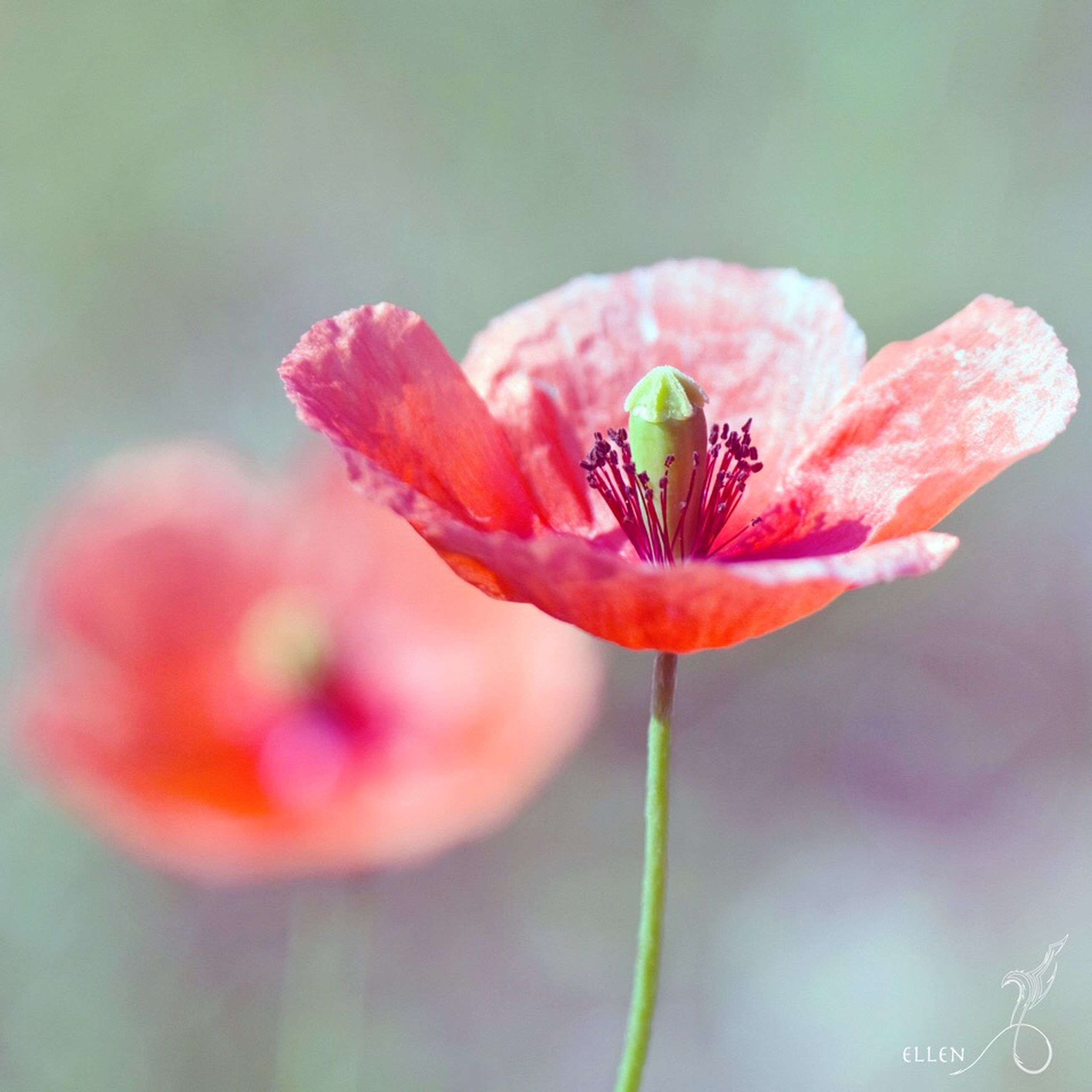 flower, freshness, petal, flower head, fragility, growth, beauty in nature, close-up, single flower, focus on foreground, blooming, nature, plant, red, stem, stamen, pollen, in bloom, pink color, blossom