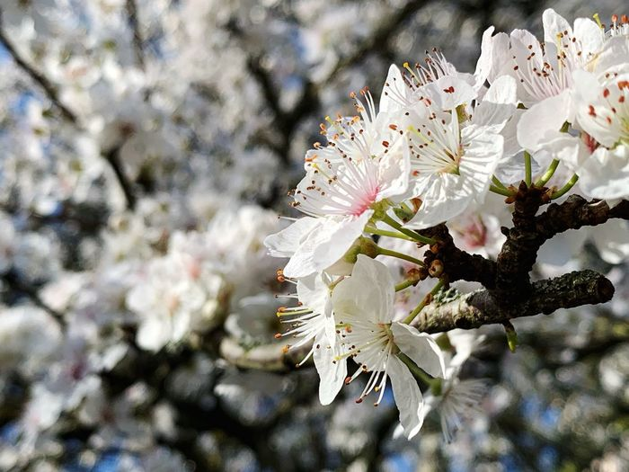 Flowering Plant Flower Fragility Plant Vulnerability  White Color Growth Freshness Blossom Beauty In Nature Close-up Springtime Tree Petal Branch Day Pollen Nature Cherry Blossom No People Flower Head Outdoors Cherry Tree Spring