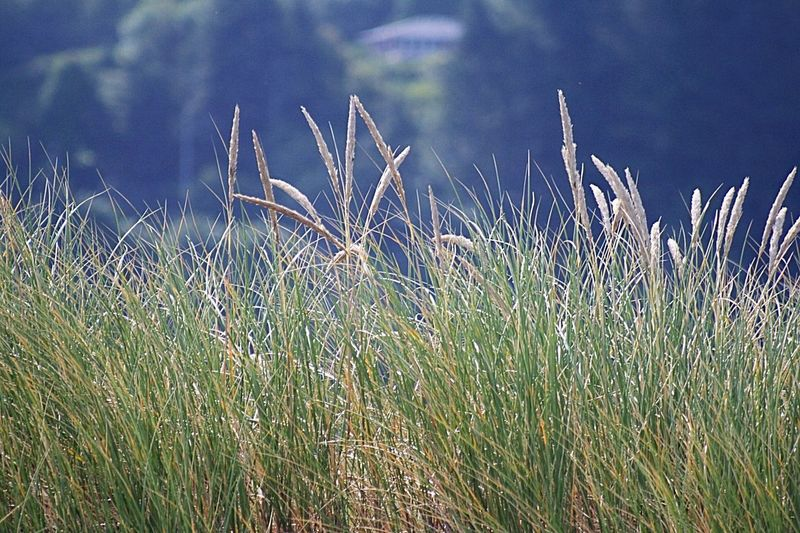 Wheat grass blowing in the wind Full Frame Clear Sky Reflection Tranquil Scene Multi Colored No People Nature Warmth Of The Sun Beauty In Nature Freshness Summer Tranquility Outdoors Scenics Landscape Close-up Light Green Color Light Yellow ❤️ Waldport, OR beach
