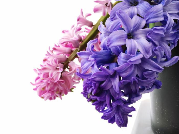 Flower Purple Nature Beauty In Nature Petal Fragility Scented Blossom Growth Freshness Flower Head No People Close-up Plant Lilac White Background Perfume Day