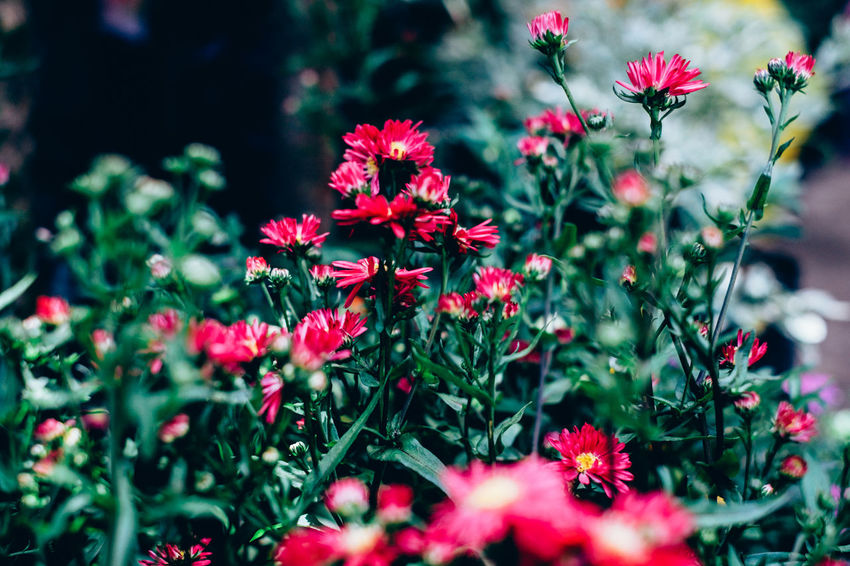 Copy Space Gardening Backgrounds Beauty In Nature Blooming Close-up Contrast Day Deep Pink Flower Flower Head Fragility Freshness Growth Hobby Nature Outdoors Plant Red Selective Focus Small The Week On EyeEm