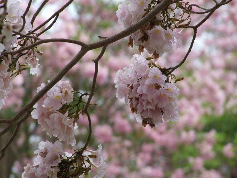 EyeEm Selects Pink Color Beauty In Nature Blossom Springtime ชมพูพันทิพย์