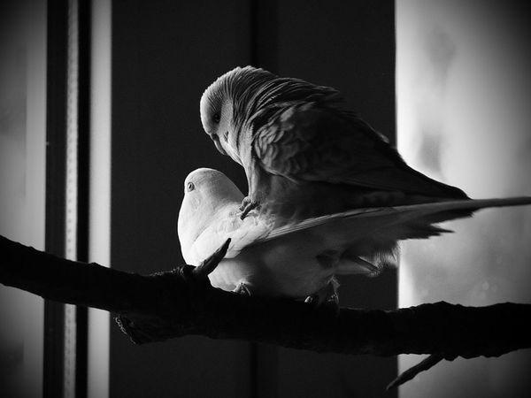 Frühlingsgefühle bei meinen kleinen... Love Birds Budgie