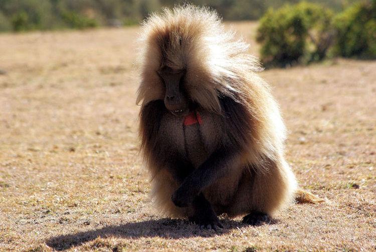 Lion sitting on field