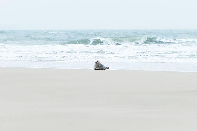 Seal Animal