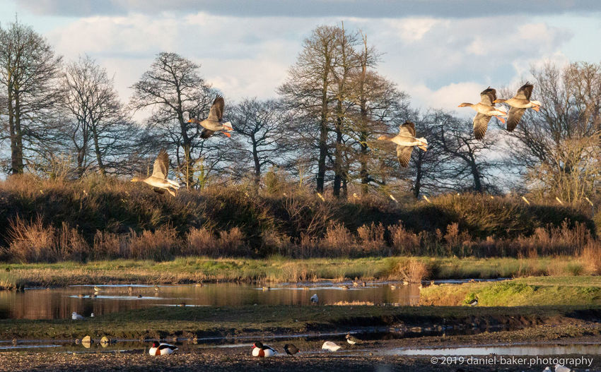 Water Lake Nature Bird Outdoors Geese Flying Group Of Animals
