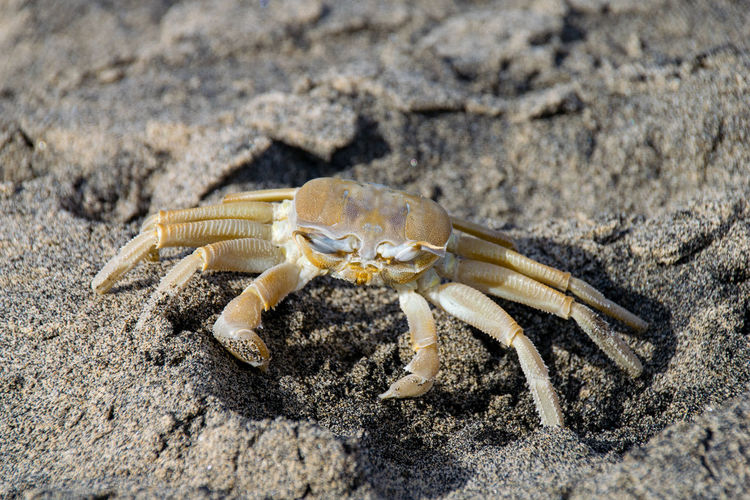 Atlantic ghost crab Atlantic Ocean Ghost Crab Crab Crustacean White Crab Animal Themes Atlantic Ghost Crab Beach Crab Pincers Sand She White Crane