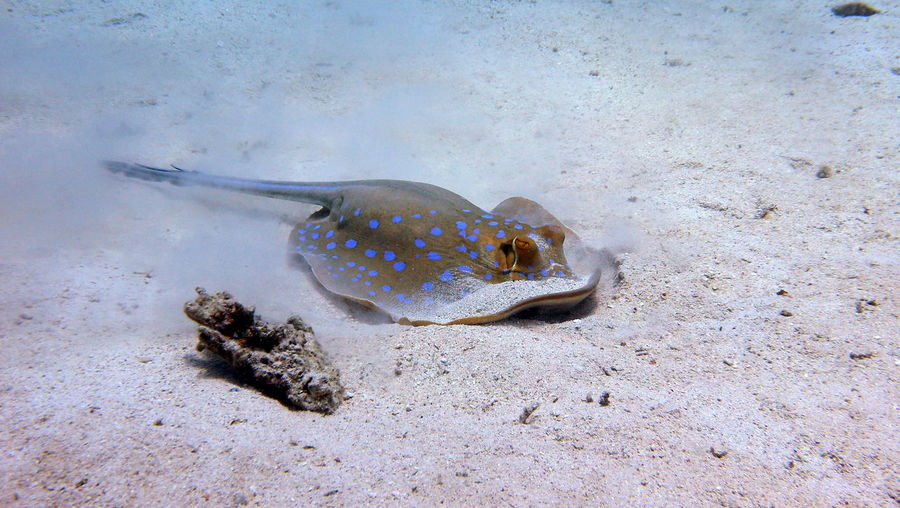 Spotted stingray at marsa alam in egypt Egypt Marsa Alam Animal Animal Themes Animal Wildlife Animals In The Wild Blue Spotted Stingray Fish Marine No People One Animal Red Sea Sand Sea Sea Life UnderSea Underwater Water