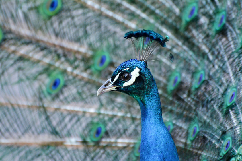 Male peacock and his tail. Animals In The Wild Peacock Blue Animal Animal Body Part Animal Head  Animal Neck Animal Themes Animal Wildlife Animal's Crest Animals In The Wild Bird Birds Blue Close-up Feather  Male Animal Nature One Animal Outdoors Peacock Peacock Colors Peacock Feather Peacock Feathers Peafowl Peafowl Head