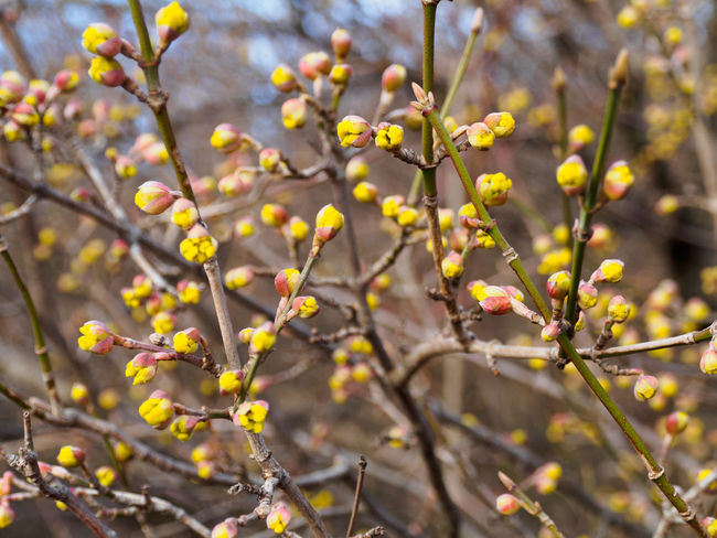 Yellow flower buds on branches in early spring Beauty In Nature Blooming Blossom Branch Buds On Branches Close-up Day Flower Flower Head Fragility Freshness Growth Nature No People Outdoors Sprig Spring Spring Flowers Spring Has Arrived Springtime Sunny Day Tree Yellow Flower