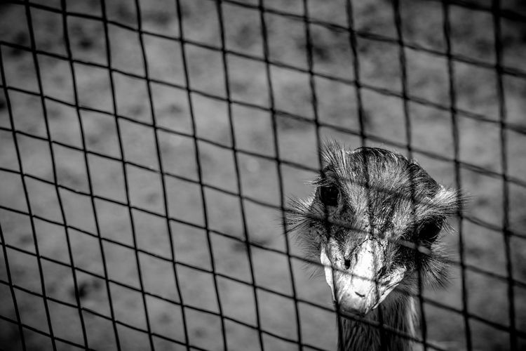 Behind bars Emu Bird Sad Sadness Prisoner Pattern Close-up Cage Chainlink Fence Animals In Captivity Zoo Birdcage Captivity