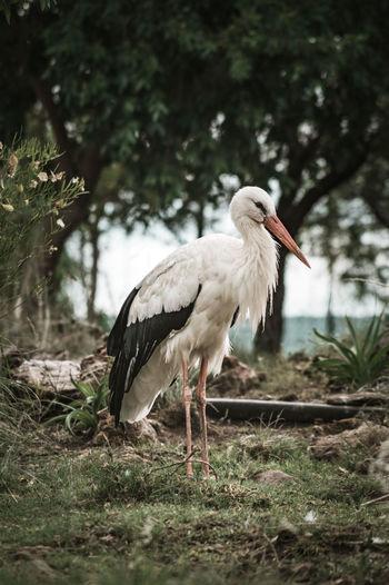 White stork standing on field