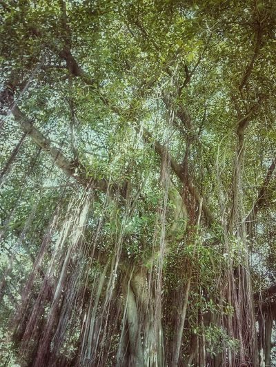 Tree Nature Tree_collection  Nature Photography Tree View Tree Photography Banyan Tree Banyan Root Of Banyan Tree Banyan Root Low Angle Low Angle Shot Low Angle View Color Of Nature Beauty Of Nature Colorful Nature