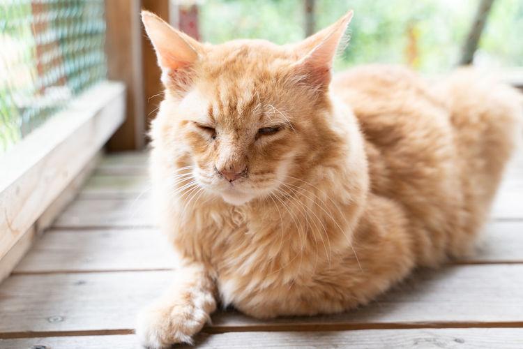 Cat Domestic