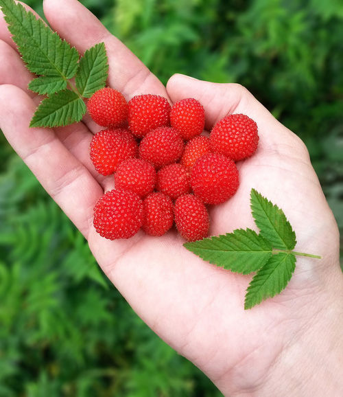 Wild Strawberries Fruits Healthy Food Red Leafs Hand Fingers