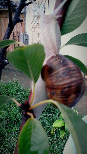 Street Photography Plant After Rain Close-up Critterz Branch Herbivorous Shells Streetphotography Outdoors Day No People Plant Leaf Showcase: October Showcase: 2016 Snail Eyeem Market @wolfzuachis Ionitaveronica Wolfzuachis Crawling Critters Of EyeEm Edited By @wolfzuachis Critter