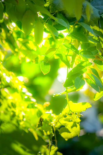 leaf green Backgrounds Beauty In Nature Close-up Day Focus On Foreground Freshness Full Frame Green Color Growth Leaf Leaves Nature No People Outdoors Plant Plant Part Selective Focus Sunlight Tranquility Tree Vulnerability
