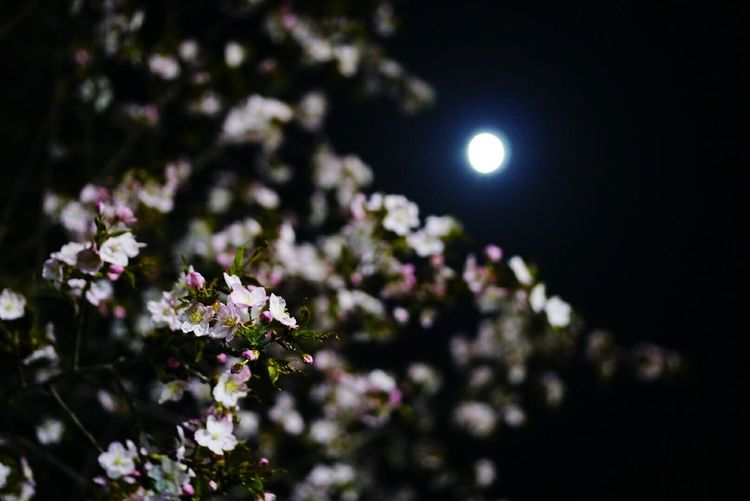 月夜の桜 Flower