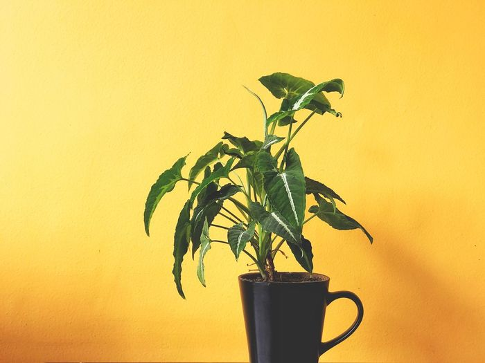 Growth Plant Leaf Yellow Nature Freshness Indoors  No People Greenery EyeEm Selects Life Potted Plant Neon Life Neon Life Breathing Space Paint The Town Yellow Rethink Things Summer Exploratorium Visual Creativity The Minimalist - 2019 EyeEm Awards