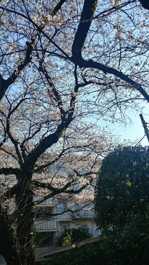 Architecture Beauty In Nature Blossom Branch Building Building Exterior Built Structure Cherry Blossom Cherry Tree Day Flower Flowering Plant Freshness Growth Low Angle View Nature No People Outdoors Plant Sky Spring Springtime Tree