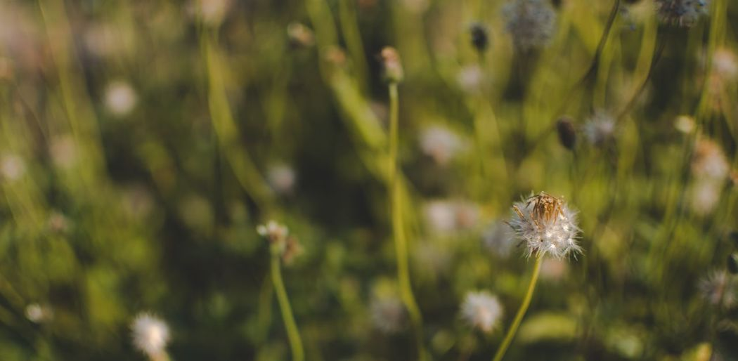 Plant Flower Flowering Plant Focus On Foreground Growth Fragility Close-up Beauty In Nature Vulnerability  Freshness Nature Land Dandelion Day Flower Head Inflorescence No People Plant Stem Field Outdoors
