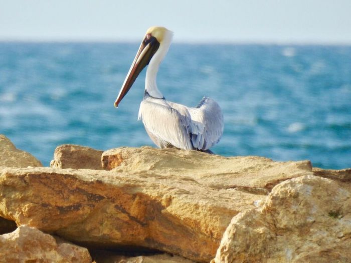 Bird Pelican Sea Animal Wildlife Animals In The Wild Nature Animal Themes Outdoors Day Water Sea And Sky Infraganti Cute Love Lovely